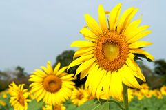Sun flower blooming. In the plant Royalty Free Stock Images