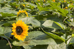 Sun flower blooms Royalty Free Stock Photography