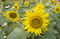 Sun flower blooms Stock Photos