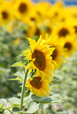 Sun flower blossom on the field Royalty Free Stock Photo