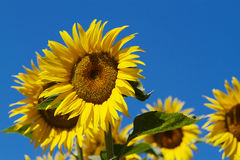 Sun Flower blue Sky Stock Photos