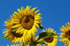 Sun Flower blue Sky Stock Photos