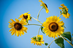Sun flower and blue sky Stock Images