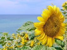 Sun flower on blue sky Stock Image