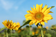 Sun flower with blue sky stock images