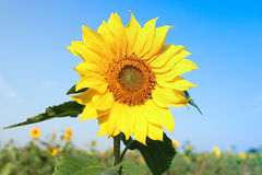 Sun flower with blue sky royalty free stock photography