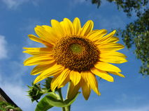 Sun Flower with blue sky background Royalty Free Stock Photography