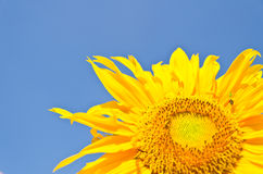 Sun Flower on blue sky background Royalty Free Stock Photo