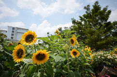 Sun flower and the blue sky. Many sun flowers and the blue sky stock photography