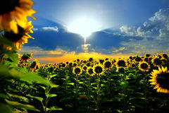 Sun flower. The breath taking sun flower royalty free stock photo