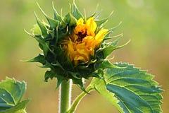 Sun Flower, Bud, Blossom, Go Up Stock Images