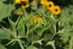 Sun Flower, Bud, Sunflower Bud Royalty Free Stock Photos