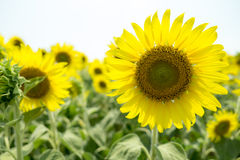 Sun flower. Close-up of sun flower against in sun flower field royalty free stock photo