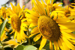 Sun flower Closed up. In summer Thailand Royalty Free Stock Photography