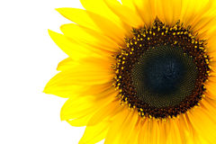 Sun flower closeup Royalty Free Stock Photo