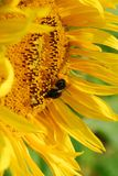 Sun Flower closeup. Sun flower with bumblebee Royalty Free Stock Photos