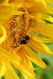 Sun Flower closeup. Sun flower with bumblebee royalty free stock photos