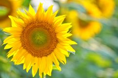 Sun flower closeup Royalty Free Stock Images