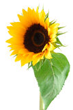Sun Flower Collection stock photography