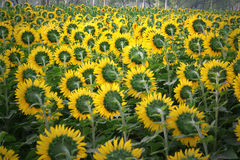 Sun flower cultivation, North India. Sunflower cultivation in North Indian farmlands in the states of Punjab and Haryana, India. The flower and seeds are royalty free stock images