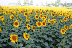 Sun flower cultivation, North India. Sunflower cultivation in North Indian farmlands in the states of Punjab and Haryana, India. The flower and seeds are stock photography