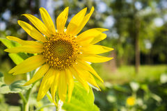 The sun flower day light Royalty Free Stock Image