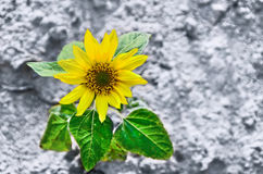 Sun flower on earth. Royalty Free Stock Image