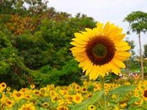 Sun flower Stock Photos