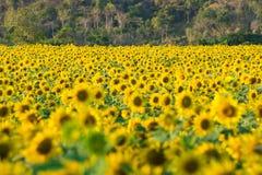 Sun flower farm Royalty Free Stock Images