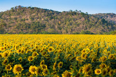 Sun flower farm Royalty Free Stock Images