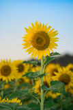 Sun flower farm Stock Photo