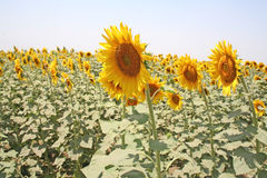 Sun flower farming and seed industry. Yellow sunflower  Farm. Scientific name Helianthus annuus. Sunflowers are used by various industries from oil and medicinal Stock Image