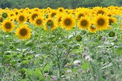 Sun flower field. Landscape of sun flower field Stock Images