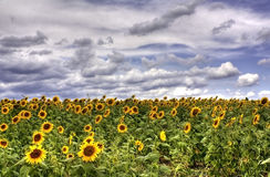 Sun Flower Field Stock Image