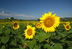 Sun flower field. In Italy Stock Images