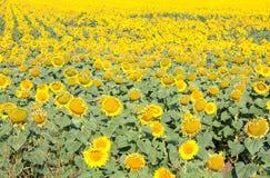 Sun flower field. Wonderful yellow sun flower field Stock Photos
