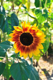Sun flower details Royalty Free Stock Photography