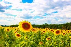 Sun flower. The field of Sun flower Stock Images
