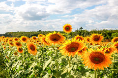 Sun flower. The field of Sun flower Stock Photo