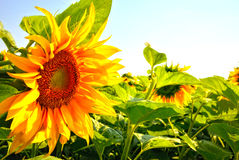 Sun flower field Royalty Free Stock Photography