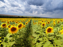 Sun flower field in Europe Stock Images