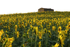 Sun flower field house. Sun flower field old farm through the Tuscany hills Italy Royalty Free Stock Images
