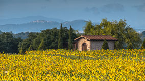 Sun Flower Field Landscape in Tuscany, Italy Stock Photos