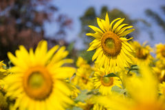 Sun flower field Stock Photography