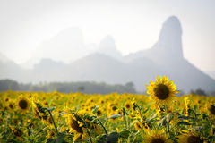 Sun Flower field with mountain background Stock Photography