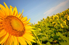 Sun flower field perspective Royalty Free Stock Images