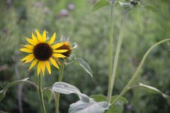 Sun flower in field. Sun flower standing in a field with blurred background royalty free stock photo