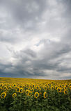 Sun flower field under stormy clouds Royalty Free Stock Photos