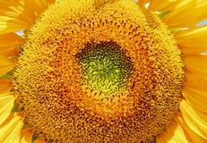 Sun Flower, Flower Stock Images