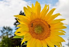 Sun Flower, Flower, Bees, Pollen Royalty Free Stock Image